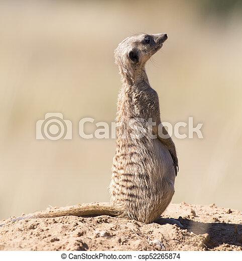 Suricate keeps a lookout at its den in sandy soil of the Kalahari - csp52265874