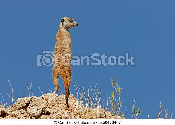 Suricate (meerkat) family - csp0473467