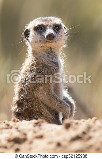 Suricate peeks from the safety of its den in sandy soil of the Kalahari - csp52125938
