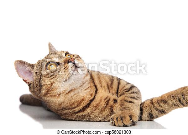 surprised tabby british fold cat lying looks up - csp58021303