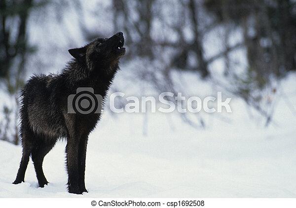 Svart, varg, ylande. Färgad, snöig scen, ylande, svart ...