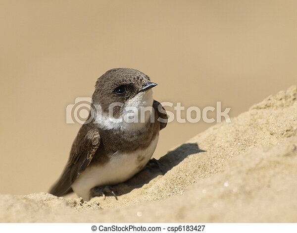 swallow Sand Martin, riparia ripari - csp6183427