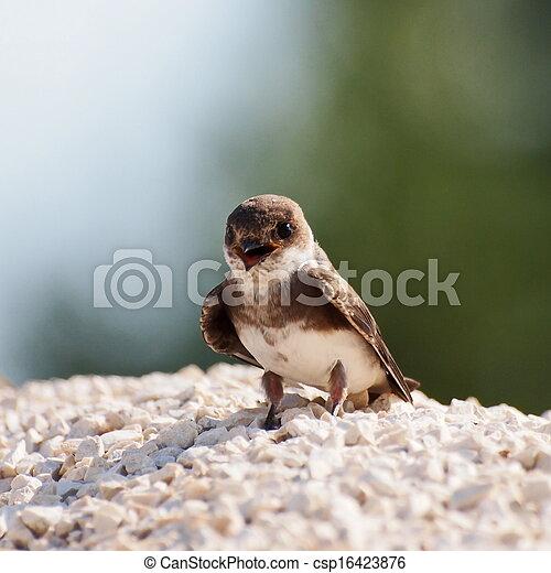 Swallow Sand Martin riparia riparia - csp16423876