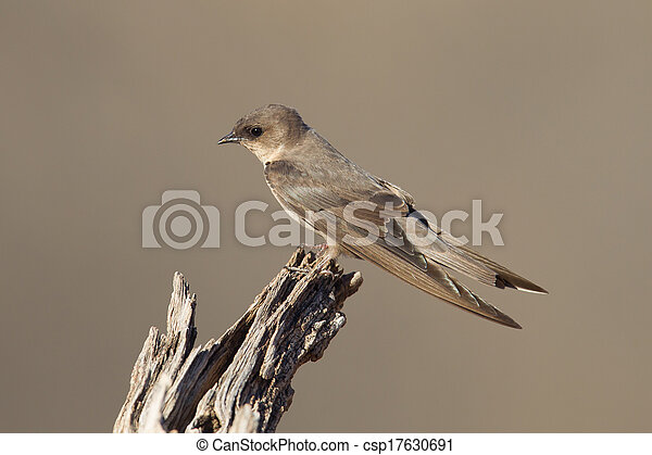 Swallow Sand Martin (Riparia riparia) - csp17630691
