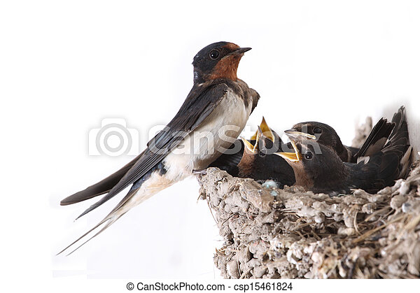 Swallow Nest With Hungry Nestlings