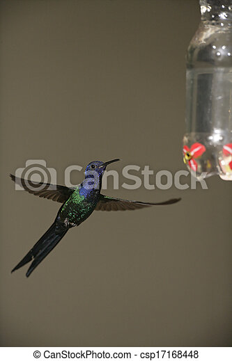 Swallow-tailed hummingbird, Eupetomena macroura - csp17168448