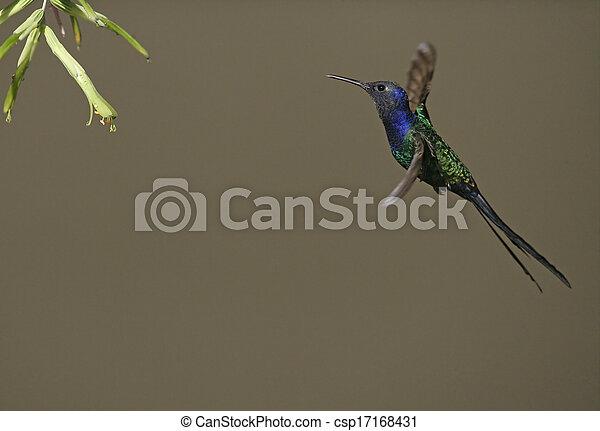 Swallow-tailed hummingbird, Eupetomena macroura - csp17168431
