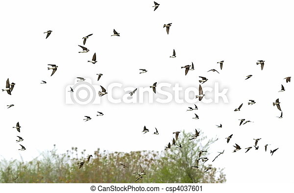 swallows flock of birds Sand Martin - csp4037601