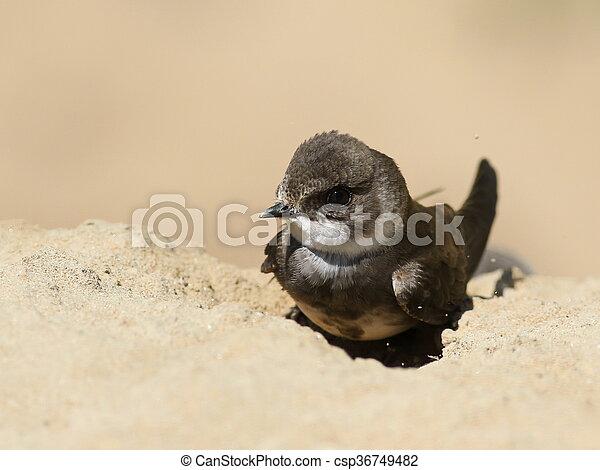 Swallows Sand Martin  - csp36749482