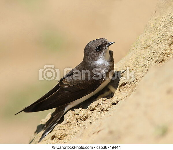 Swallows Sand Martin  - csp36749444