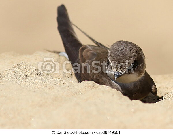 Swallows Sand Martin  - csp36749501