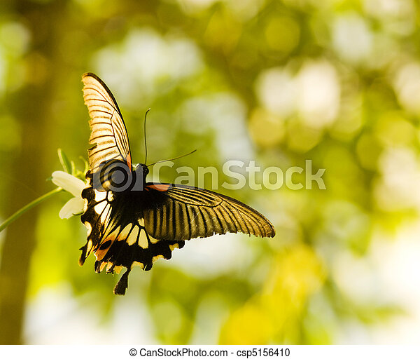 Swallowtail butterfly flying and dancing - csp5156410