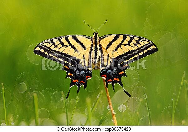 Swallowtail butterfly on green grass - csp30673429
