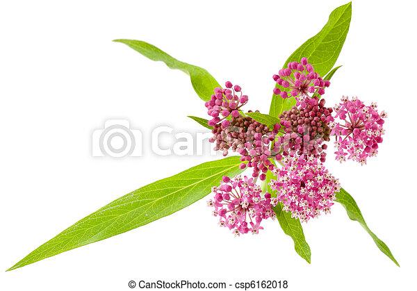 Swamp Milkweed - csp6162018