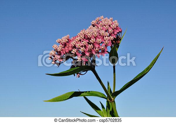 Swamp Milkweed Wildflower - csp5702835