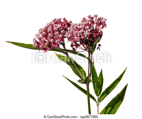 Swamp Milkweed Wildflower - csp5877950