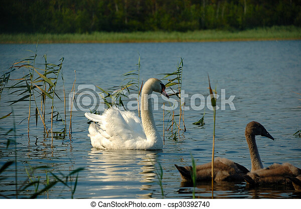 Swan and chicks - csp30392740