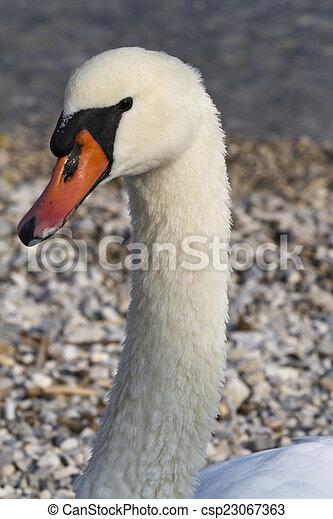 swan at lake - csp23067363