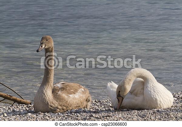 swan at lake - csp23066600