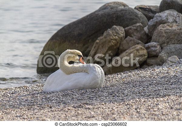 swan at lake - csp23066602
