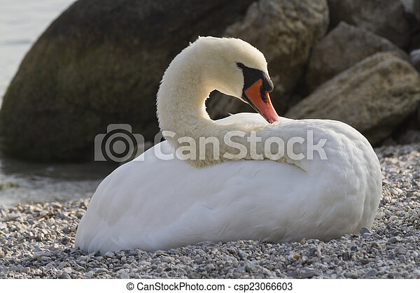 swan at lake - csp23066603