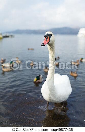 Swan at lake - csp49877436
