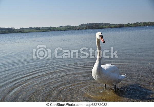 swan at lake - csp68272032