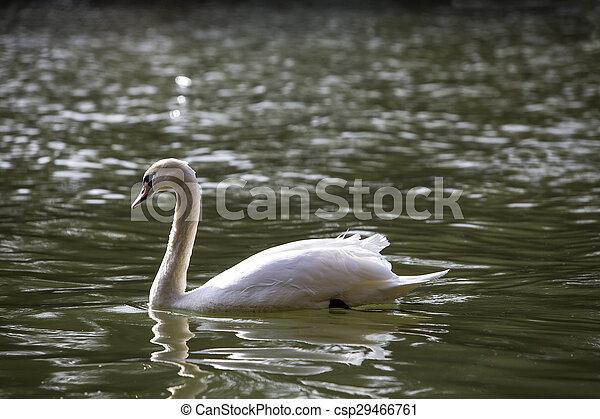 Swan at the lake - csp29466761