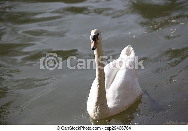 Swan at the lake - csp29466764