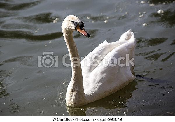 Swan at the lake - csp27992049