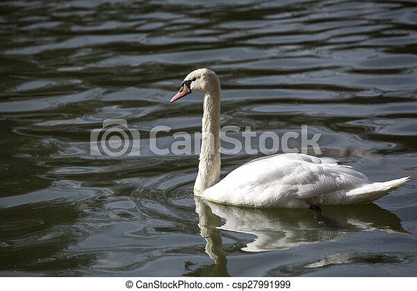Swan at the lake - csp27991999