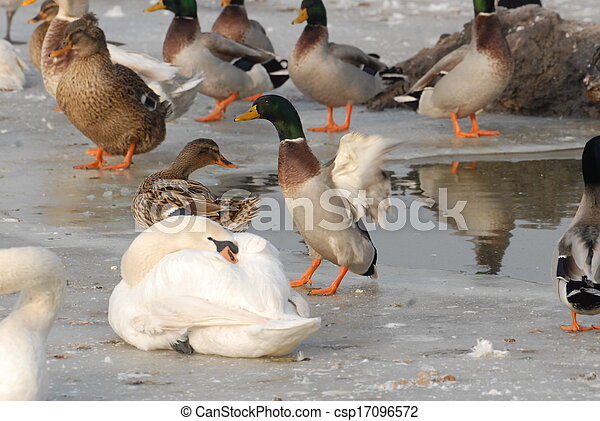 Swan in the winter - csp17096572