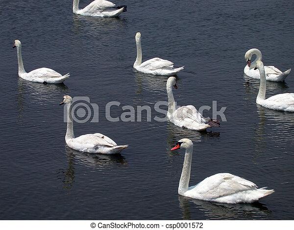 Swan Lake - csp0001572