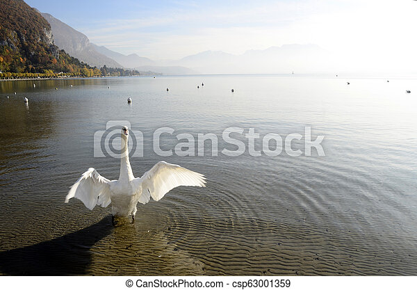 Swan on annecy lake, savoy, France - csp63001359