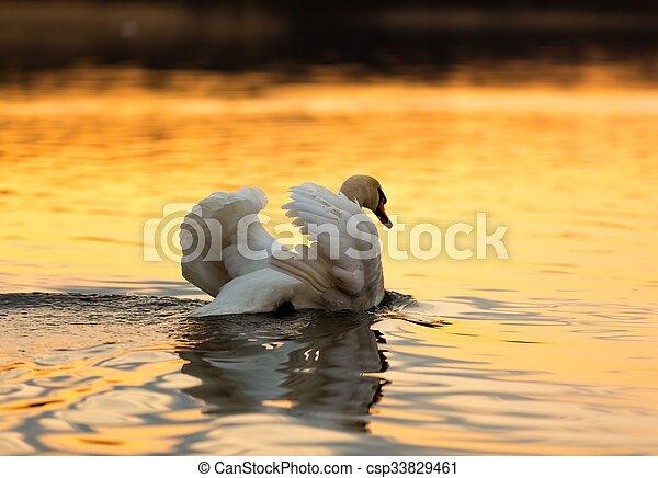 Swan on sunset lake - csp33829461