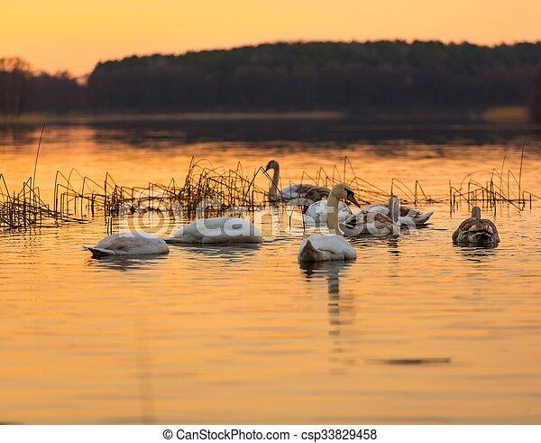 Swan on sunset lake - csp33829458