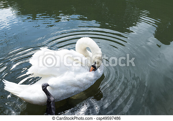 Swan - csp49597486