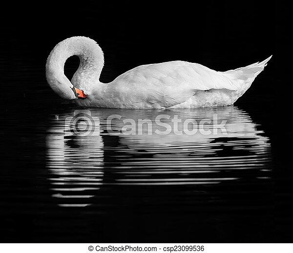 Swan reflection - csp23099536