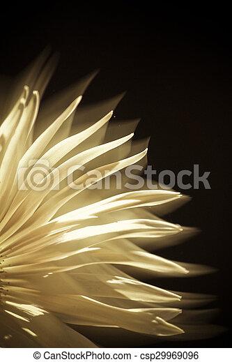 Swan River Daisy, Brachycome lberidifolia - csp29969096
