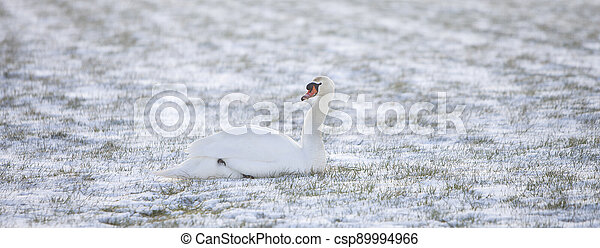 swan sits in snow covered grassy meadow - csp89994966