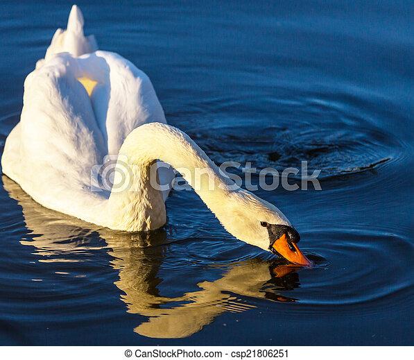 Swan - csp21806251