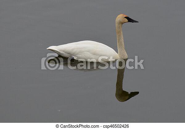 Swan - csp46502426