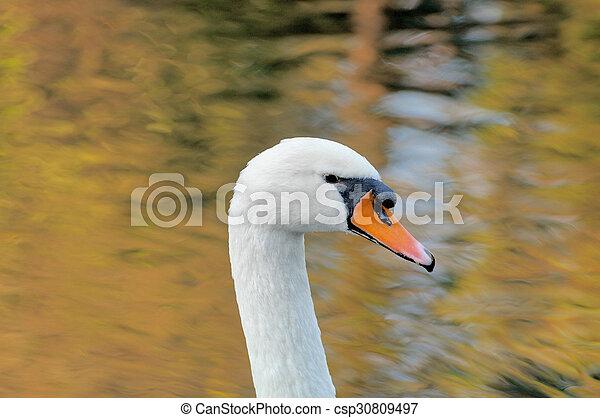 Swan - csp30809497