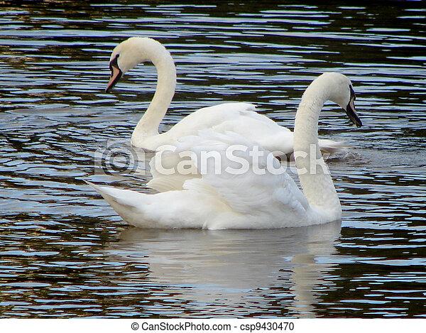 swan - csp9430470