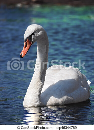 Swan white swimming at the water - csp46344769