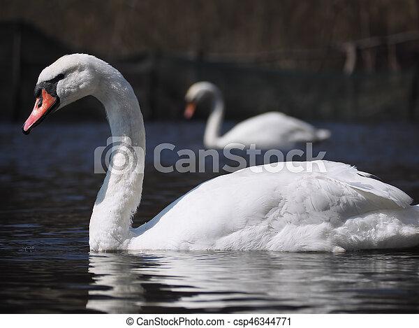 Swans at the blue lake - csp46344771
