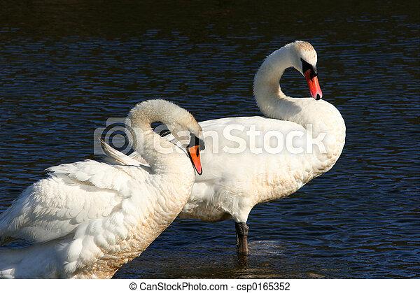 Swans, Forever Together, - csp0165352