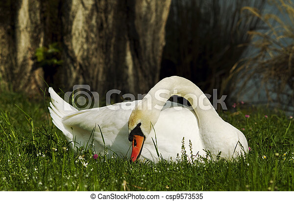 swans in the grass - csp9573535