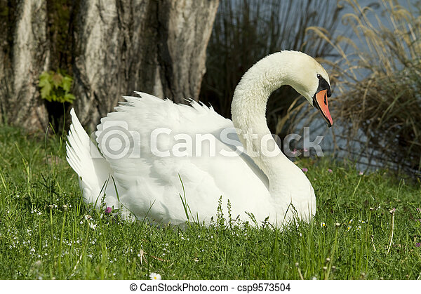 swans in the grass - csp9573504