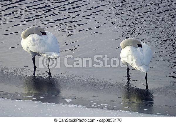 Swans standing in water - csp0853170